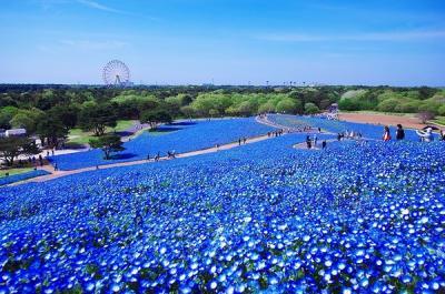 Ngỡ ngàng trước cánh đồng hoa đẹp như trong cổ tích ở Nhật Bản