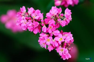Những đồi hoa phớt hồng quyến rũ trên những đồi tam giác mạch Si Ma Cai