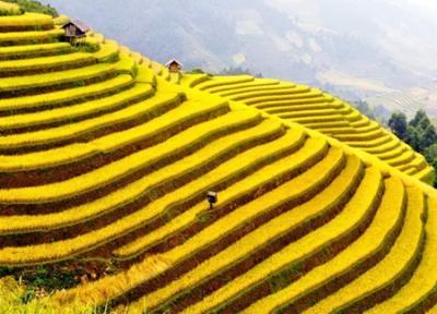 Đẹp quyến rũ những ruộng lúa chín vàng Miền Bắc