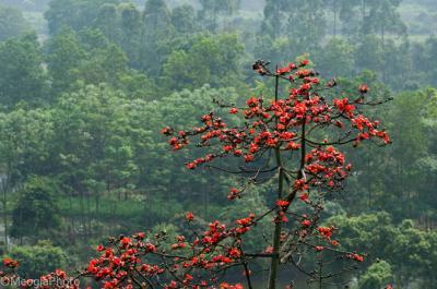 Rực rỡ Hoa Gạo chùa Hương