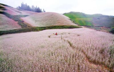 Khu đồi hoa Tam giác mạch Lử Thẩn