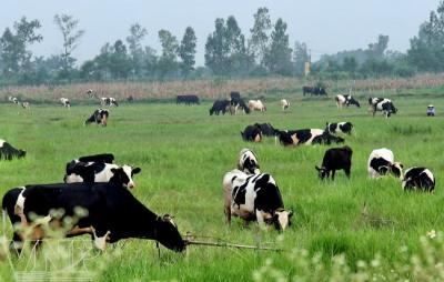 Trang trại du lịch bò sữa Daisy Farm
