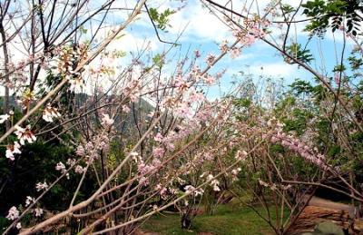 Vườn hoa Đậu Anh Đào
